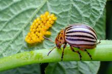 Colorado Beetle Crawls Near Yellow Eggs On A Sheet Of Potatoes.