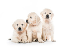 Emotional Behaviour Of Golden Retriever Puppies Sitting Isolated