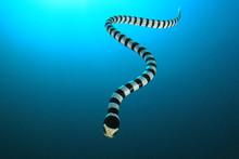 Banded Sea Krait (Snake)