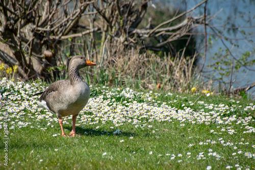 Photo  Greylag goose (anser anser) walking amongst spring time daisy wild flowers