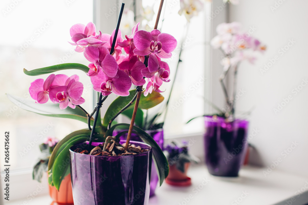 Fototapety, obrazy: Purple orchid on windowsill. Home plants care.