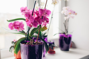 Purple orchid on windowsill. Home plants care.