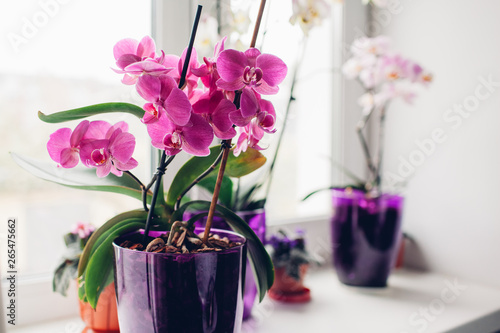 Orchidée Purple orchid on windowsill. Home plants care.