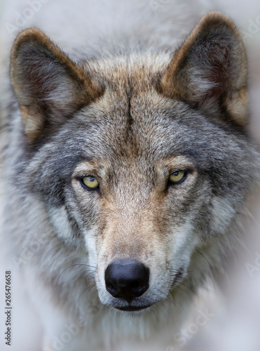 A lone Timber wolf Canis lupus portrait closeup in fall in Canada Wall mural