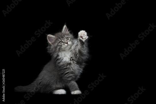 Canvastavla  8 week old blue tabby maine coon kitten sitting raising paw on black studio back