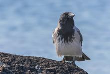 Hooded Crow, Scotch Crow, Danish Crow, Grey Crow (corvus Cornix)