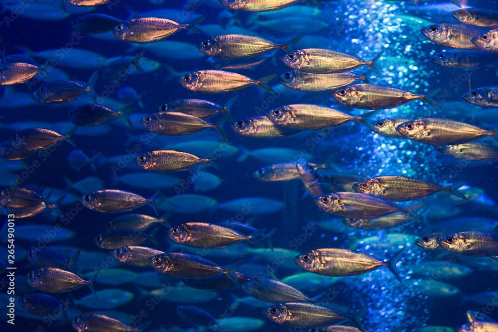 Fototapeta Ławica ryb