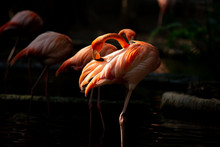 America Flamingo