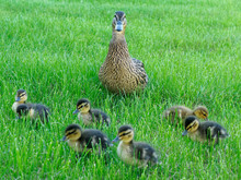 Mommy Duck And Its Lovely Chic...