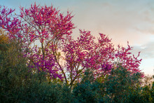 Blooming Redbud Tree At Sunset