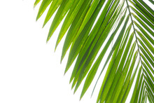 Closeup Tropical Palm Leaf Isolated On A White Background. Summer Is Coming Concept