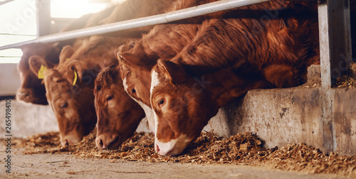 Photo Stands Cow Close up of calves on animal farm eating food. Meat industry concept.