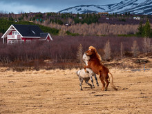 Iceland Horse Play At Their Hu...