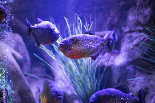 Fototapety, obrazy: red-bellied piranha fish in aquarium with illumination