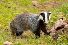 A Close Up Of A Wild Badger (Meles Meles).  Taken In The West Wales Countryside,, Wales, UK