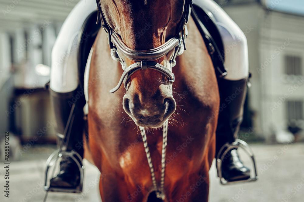 Fototapeta Close up of a brown horse nose