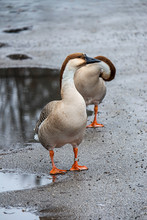 2 Swan Geese In Rainy Weather ...