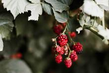 Blackberries On The Vine.