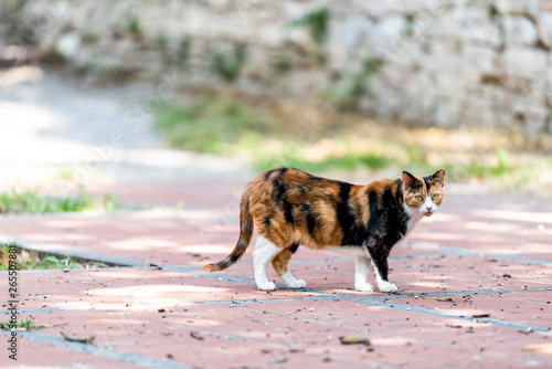 Fototapeta Calico cat outside green garden standing looking straight at camera in Perugia, Umbria, Italy park obraz