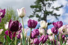 Close-up Of Purple And White Tulips Against Blue Sky