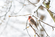 One Male Red House Finch Haemo...
