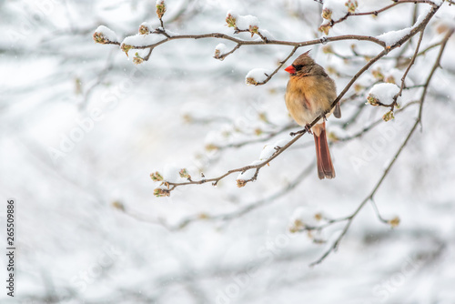 One female northern cardinal Cardinalis bird perched on tree branch during winte Fototapet