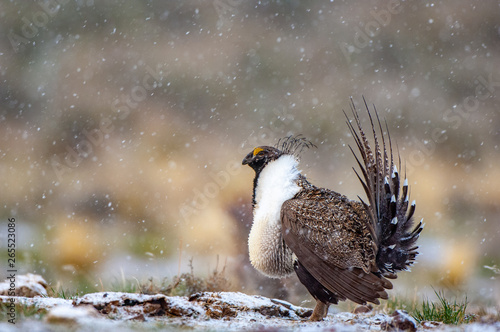 Obraz na plátne Male Great Sage Grouse, Centrocercus urophasianus, performing mating display on a breeding ground with light snow in the background