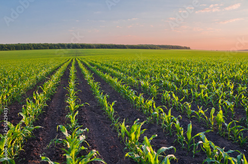 Obraz Rows of young corn shoots on a cornfield - fototapety do salonu