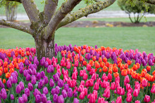 Tulips Blooming In A Field In ...