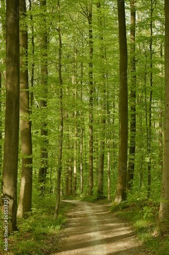 Fotobehang Bossen Chemin traversant une forêt de hêtres jeunes au printemps au parc de Tervuren à l'est de Bruxelles