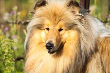 Dog, Collie, Pet, Animal, Portrait, Rough Collie
