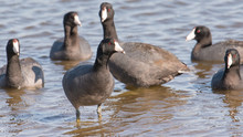 American Coots On The Minnesota River During Spring Migrations - In The Minnesota Valley National Wildlife Refuge