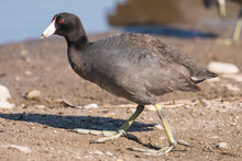 American Coot On The Minnesota River During Spring Migrations - In The Minnesota Valley National Wildlife Refuge
