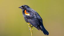 Red-winged Blackbird Closeup P...