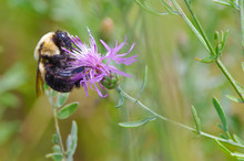 Bumble Bee Species Feeding / Pollinating On A Purple Wildflower In The Crex Meadows Wildlife Area In Northern Wisconsin