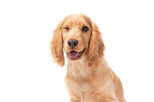 3 Month Old Cocker Spaniel Puppy Winking On White Isolated Background
