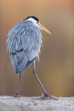 Grey heron at edge of pond. Rear view. - 265544842