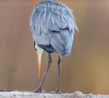 Grey heron at edge of pond. Rear view. - 265544854