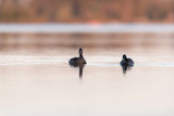 Two mallards floating in lake at dawn. - 265544858