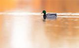 Male mallard swimming in lake at sunrise. Side view. - 265544865
