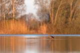 Egyptian goose in morning sunlight standing in lake. - 265545017