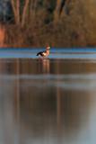 Egyptian goose in morning sunlight standing in lake. - 265545043