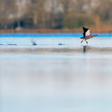 Egyptian goose taking off from lake at dawn. - 265545054