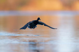 Male mallard taking off from lake at dawn. - 265545067