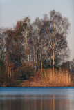 Birch trees and reed at edge of lake in morning sunlight. - 265545076