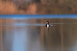 Great crested grebe in lake at sunrise. Side view. - 265545087