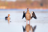 Egyptian goose in lake warming up wings in morning sunlight. - 265545098