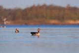 Greylag geese in lake at sunrise. - 265545099