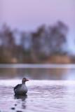 Greylag goose floating in lake at dawn. - 265545222