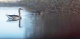 Greylag goose swimming at edge of lake near bushes. - 265545246